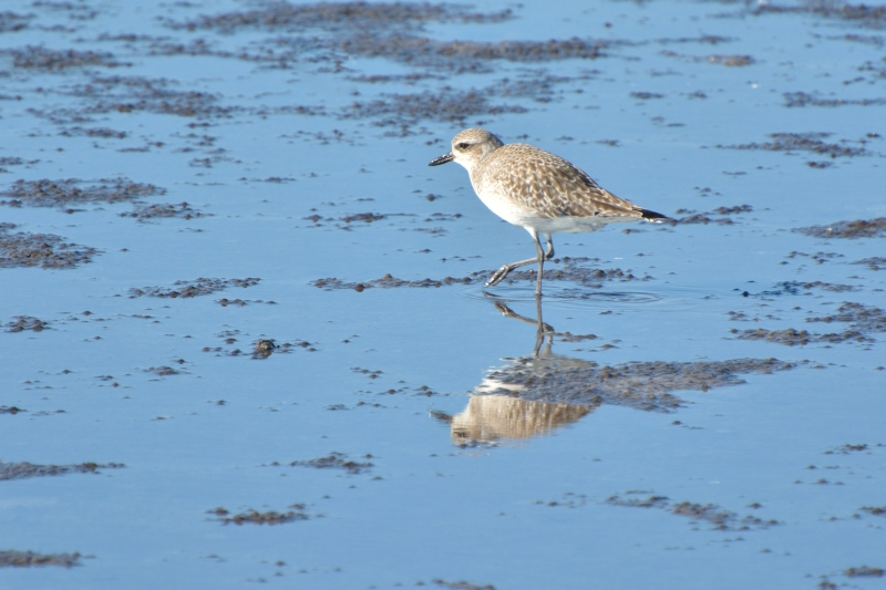 Black-bellied Plover@ƒ_ƒCƒ[ƒ""