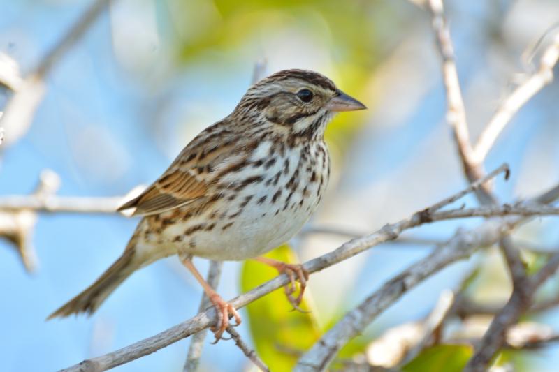 Baird's Sparrow@